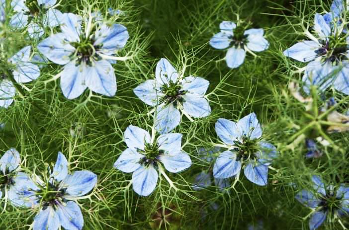 Halal Health Supplements - Nigella Sativa Flower